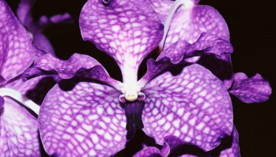 Purple is actually a rare color in nature, so true purple cultivars are highly prized.
