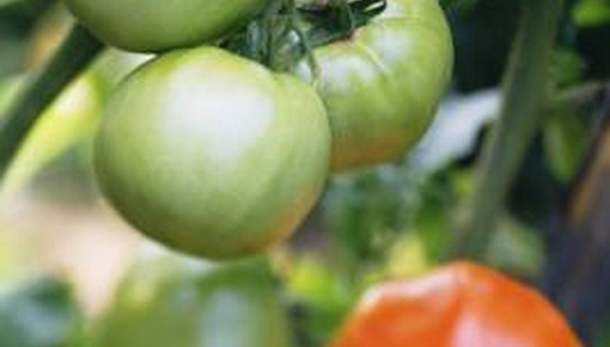 Tomatoes are perennial plants often grown as annuals.