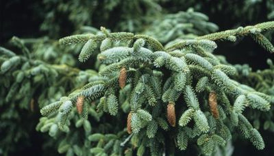 Natural Uses for Pine Trees