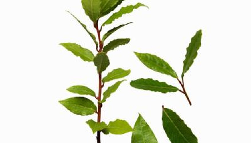 Bay leaves should be dried before use.