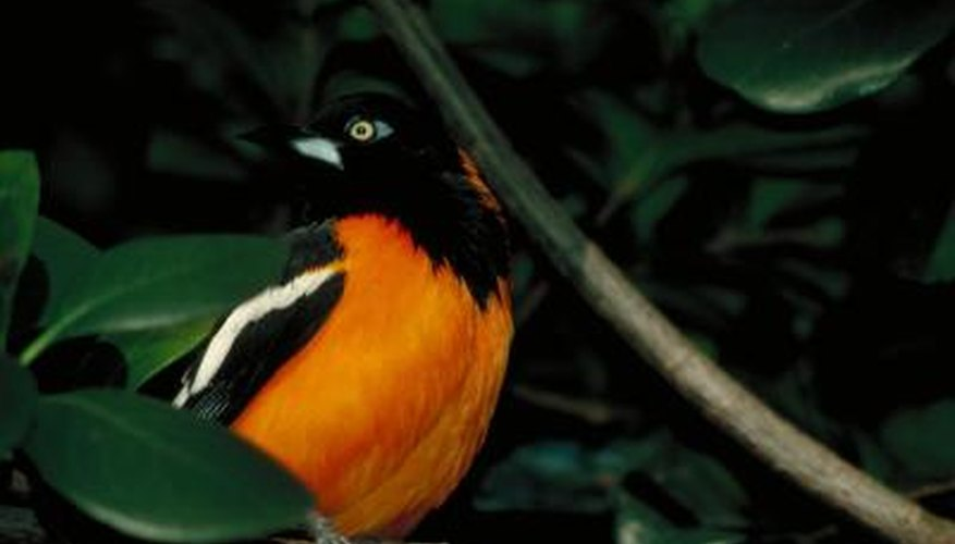 Orioles are favored for their song and appearance.