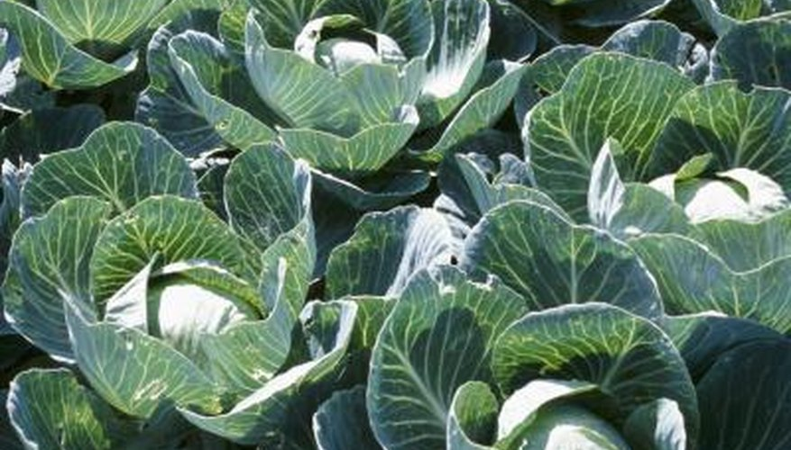 Proper fertilization helps grow large, healthy cabbages.