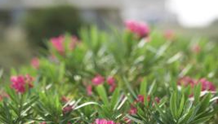 Oleanders are well-suited to coastal North Carolina landscapes.