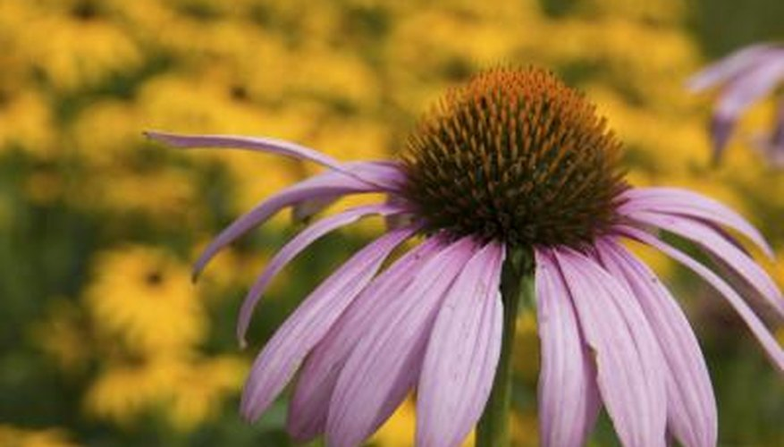 Coneflowers and other prairie plants are well-suited to swales.