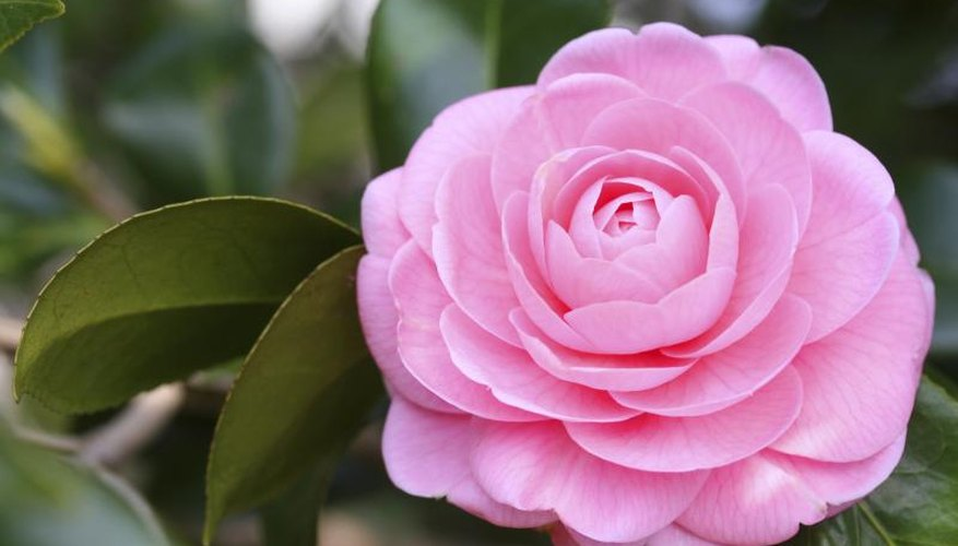 Camellia exhibitors may use special bloom-enhancing fertilizers.