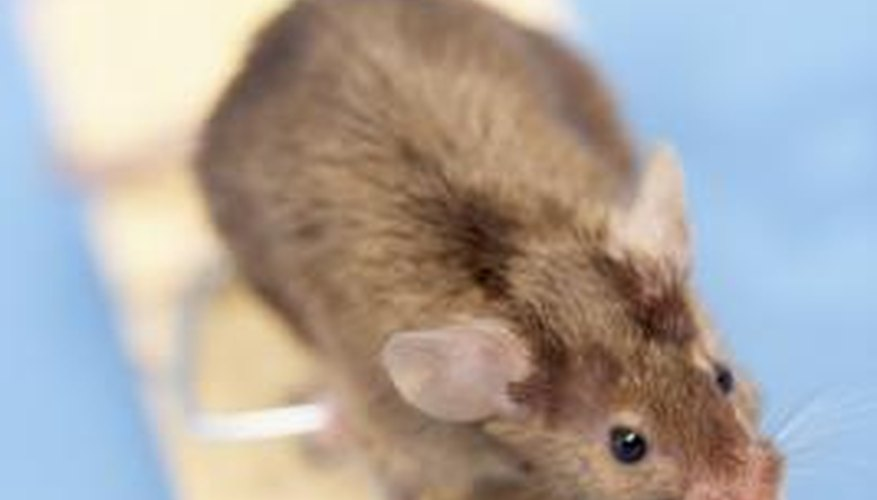 Mice can damage your home, including the insulation.
