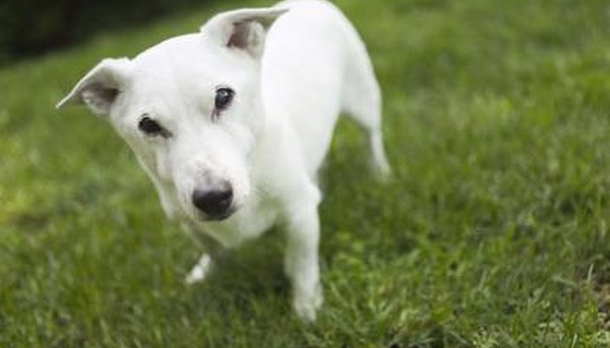 Your dog may be causing the dead spots on your lawn.