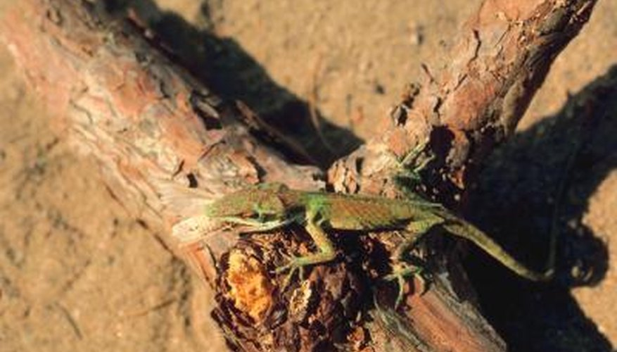 A green anole sits on a piece of wood.