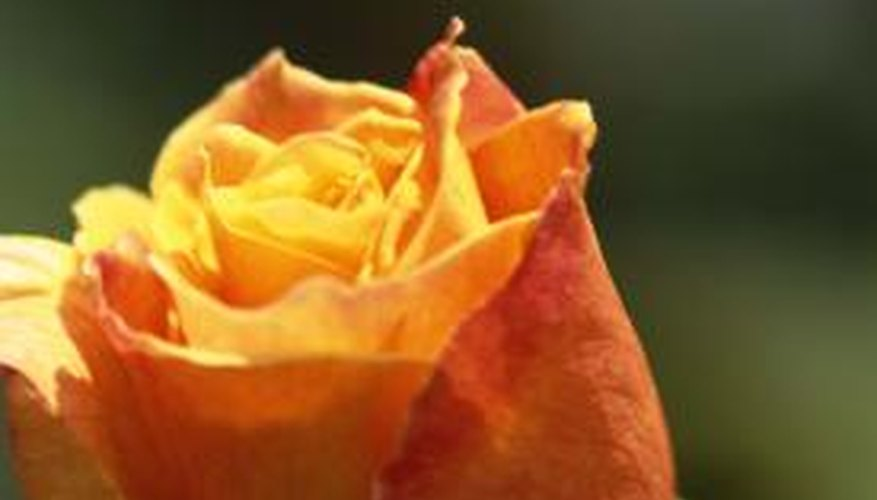 A rose is an anthophyta plant.