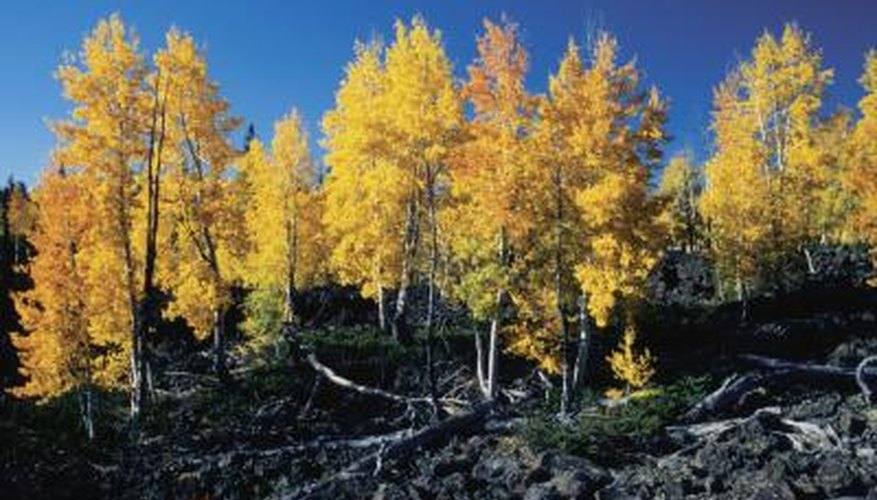 You can't miss the quaking aspen's brilliant foliage.