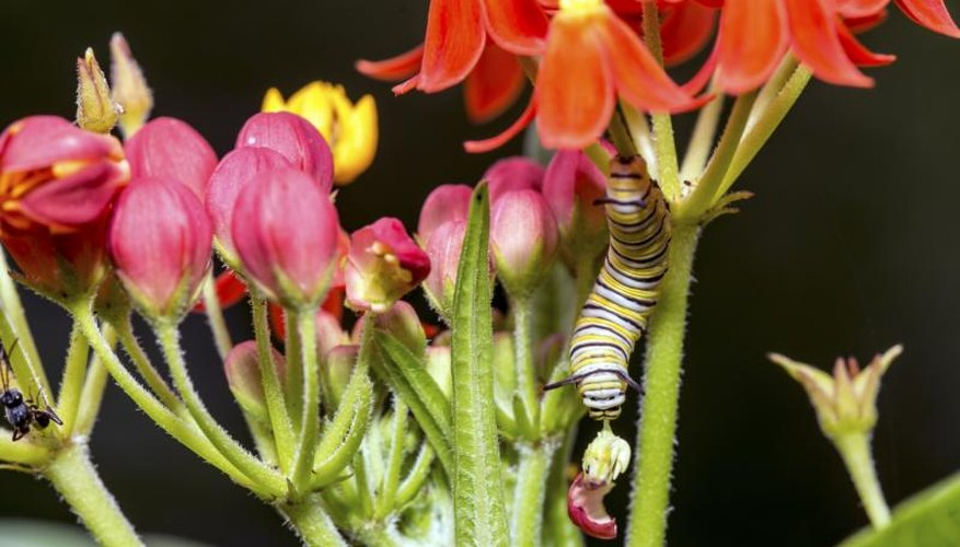 Orange glory's toxic sap doesn't harm striped monarch butterfly caterpillars.