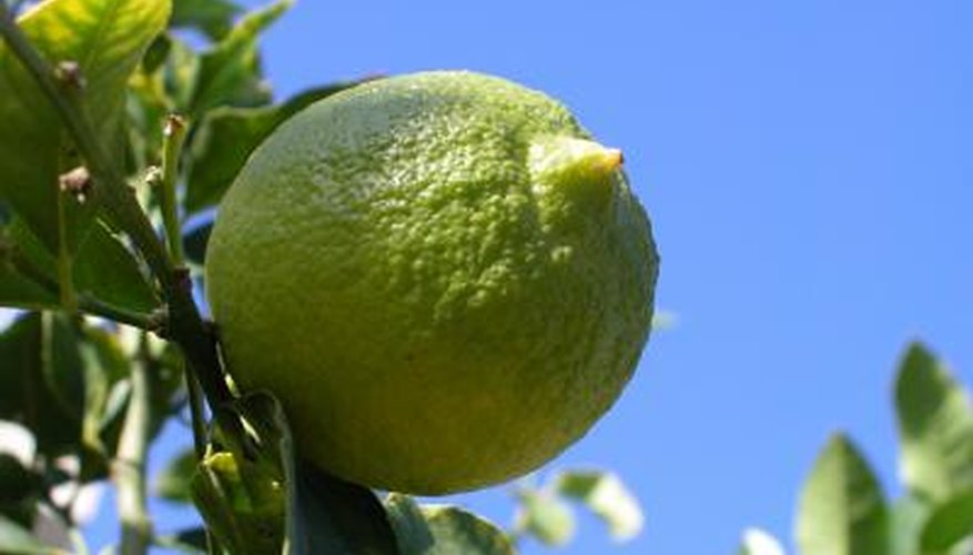 Limes are now grown in Florida.