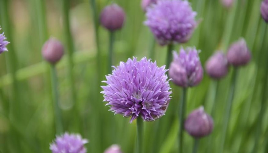 Chive blooms also are edible, but have a stronger flavor than the spears.