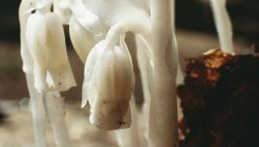Indian pipe, or the ghost plant, does not make its own food.