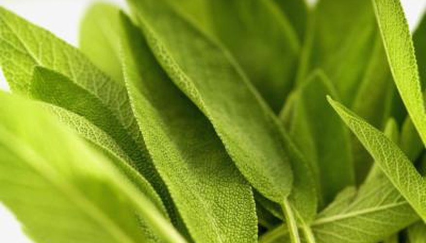 Sage, a hardy perennial herb, is not susceptible to frosts.