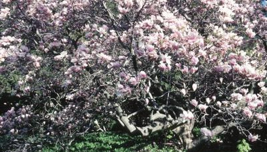 Prolonged spring rain can lead to fungal diseases in magnolias.