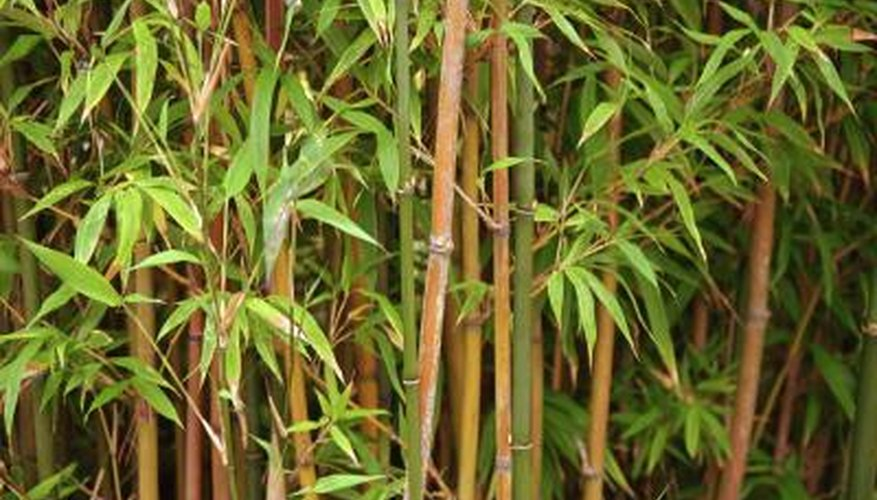 Clumping bamboos are low maintenance plants that come in an astonishing array of forms and colors.