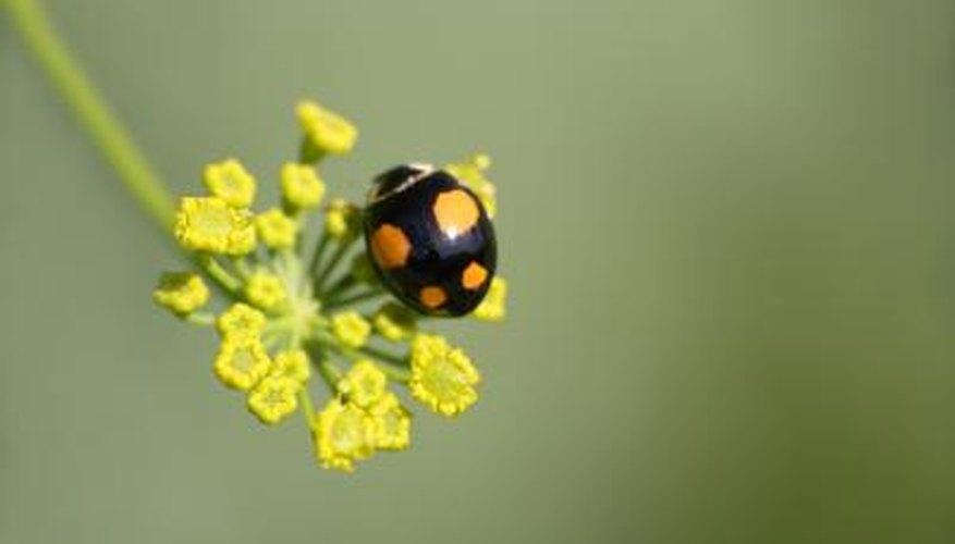 Beetles That Look Like Lady Bugs