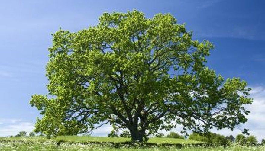 Oak tree against blue sky.