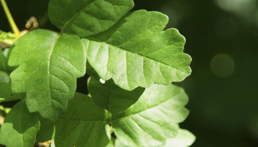 A close-up of poison oak leaves.