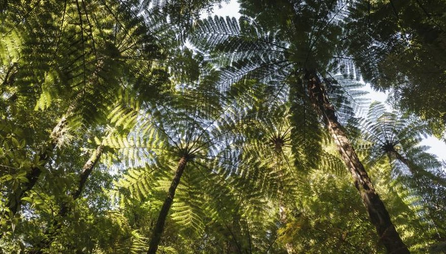 Tree ferns lend a lush, tropical effect to the landscape.