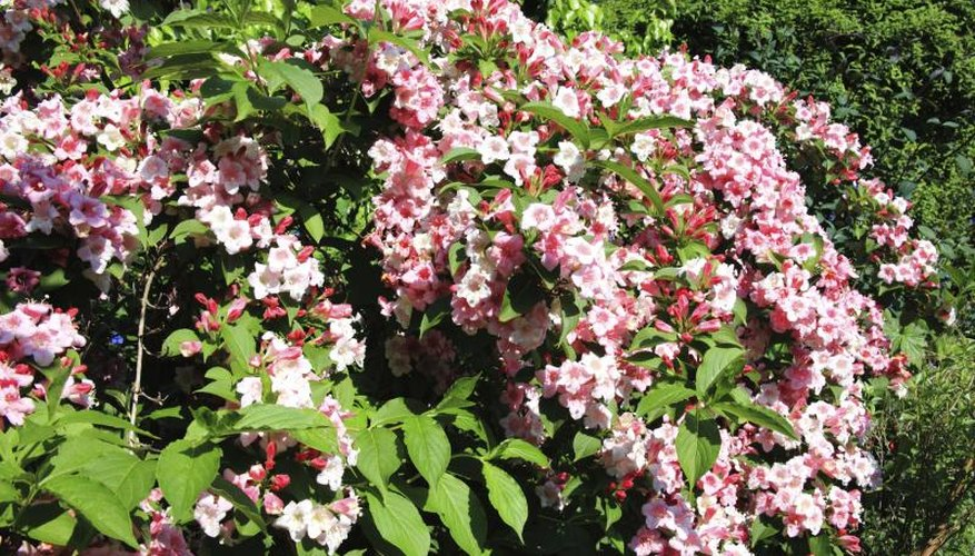 Weigela shrubs are old-fashioned garden favorites.