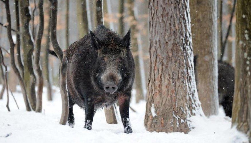 Wild Hog Hunting in Pennsylvania