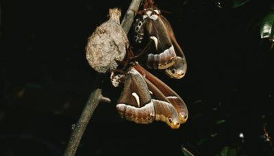 Some insects attach their cocoons to trees.