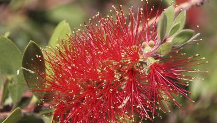 Bottle brush flowers attract hummingbirds.