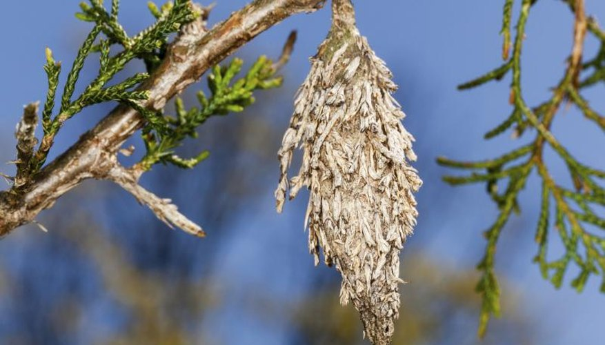 Silken bagworm shelters resemble cones hanging from evergreens.