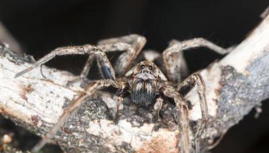 Big Native Spiders in Wisconsin