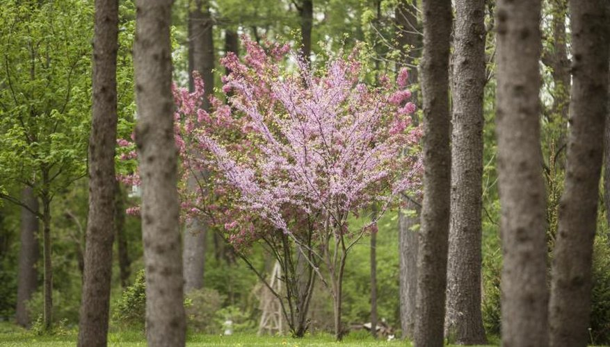 A flowering dogwood in front of a redbud tree in the woodlands.