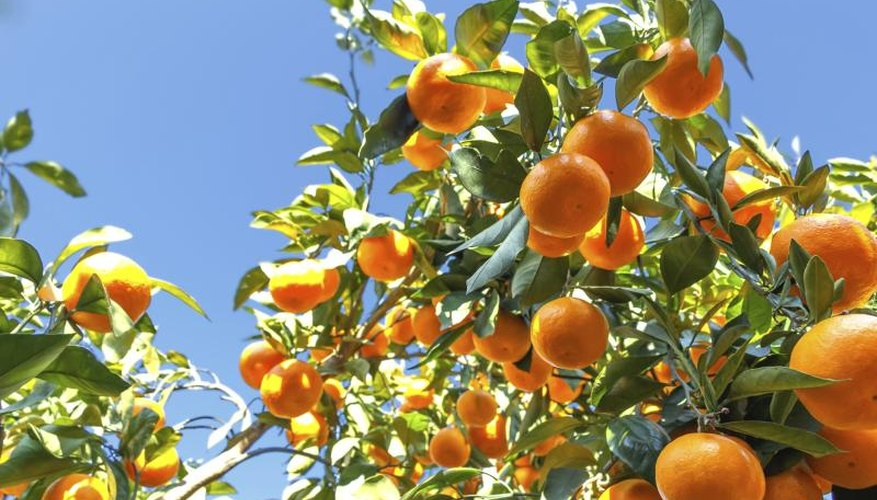Orange trees full of fruit
