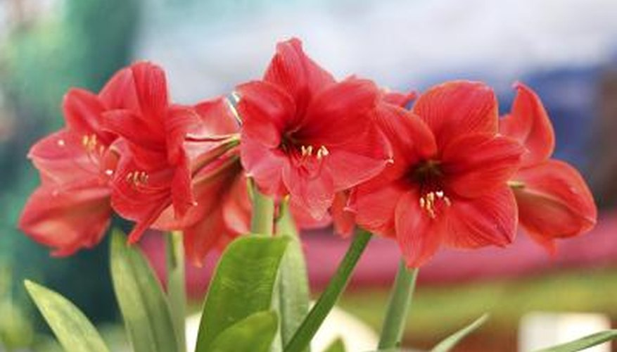 Today amaryllis symbolizes pride.