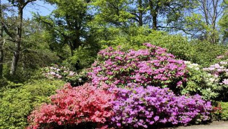 Pruning improves the appearance of blooming rhododendrons.