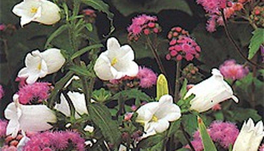 Canterbury Bells Garden Guides