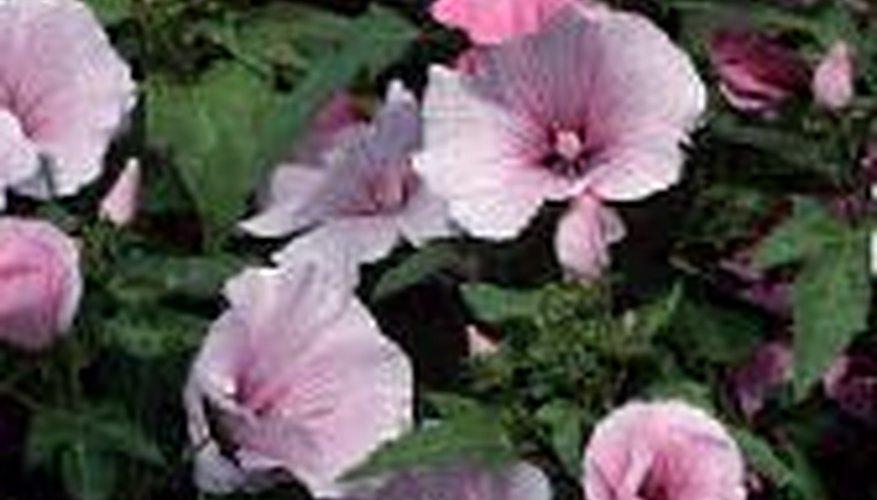 1b04b72376863 Rose Mallow | Garden Guides