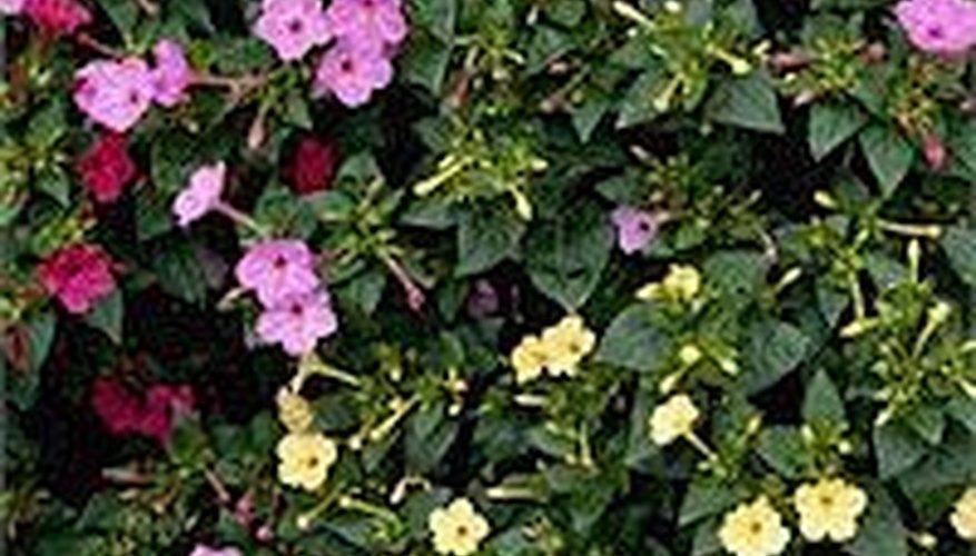 Four Oclocks Garden Guides