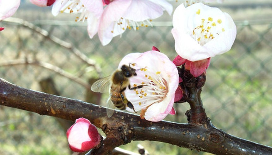 Bees pollinate fruit trees