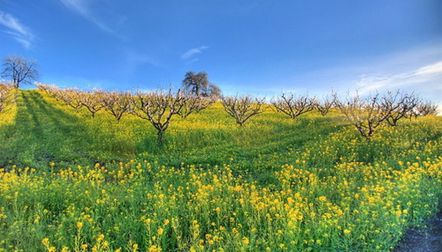 Yellow mustard plant flowers in an orchard