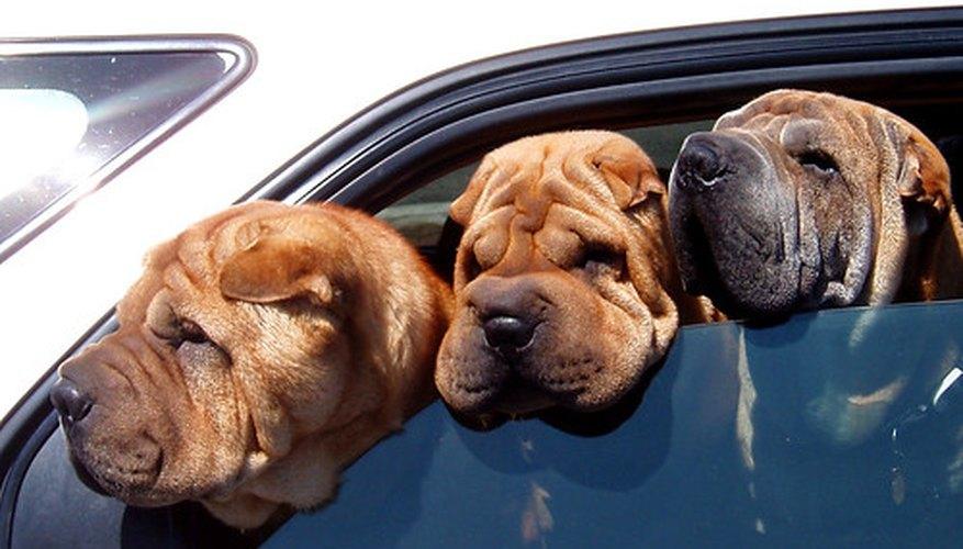 Los perros disfrutando de un paseo en vehículo.