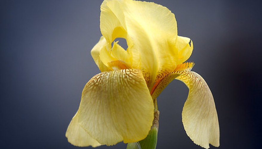 Facts About Iris Plants Garden Guides