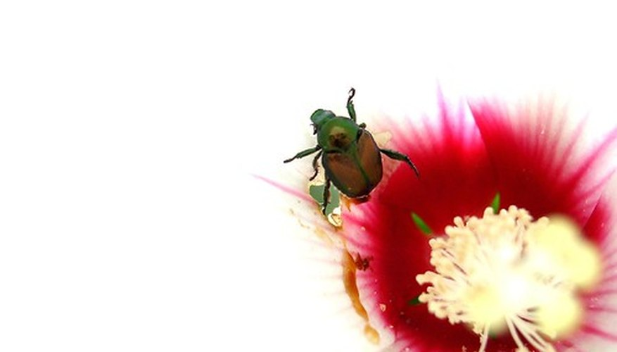 Japanese beetles are never welcome in a garden.