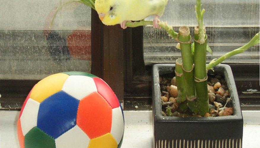 Las plantas de bambú de la suerte no son de bambú, pero son miembros de la familia de las liliáceas cuyo nombre botánico es Dracaena.
