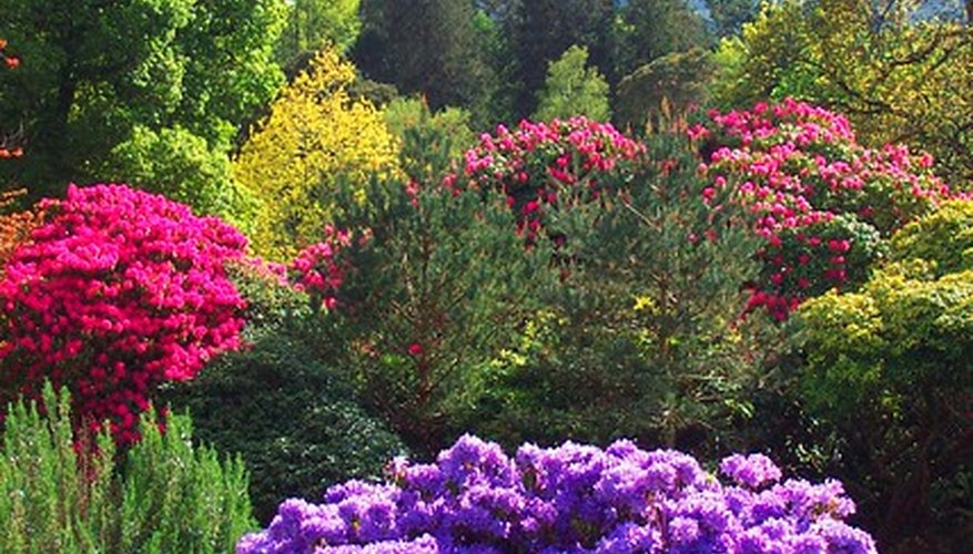 The brighly colored flowers of rhododendron make it an attractive stop for pollinators like bees, but the honey they produce can lead to poisoning.