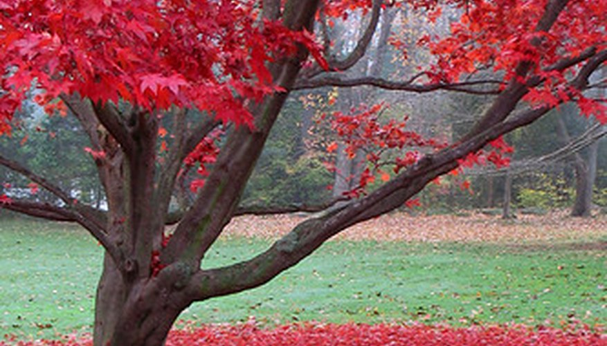 Japanese maple trees are known for their bright fall leaves.