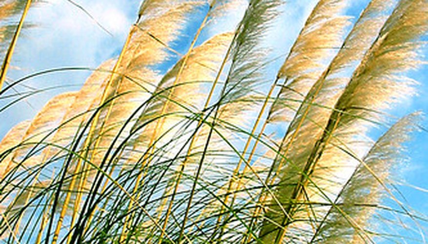 Ornamental Grasses Florida Ornamental grasses florida garden guides select an appropriate grass species best suited for the mild winters and hot rainy florida ornamental workwithnaturefo