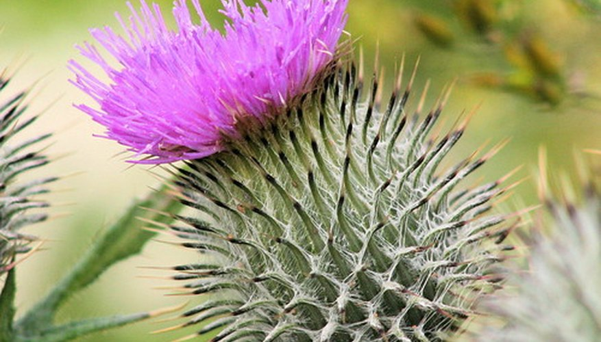 A lavender-pink thistle shows off its prickly nature.