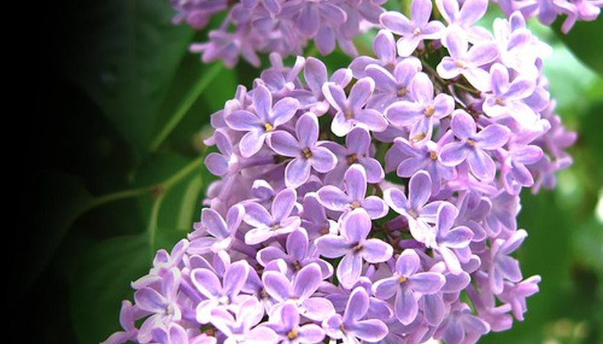 Lilacs are subject to only a few diseases.