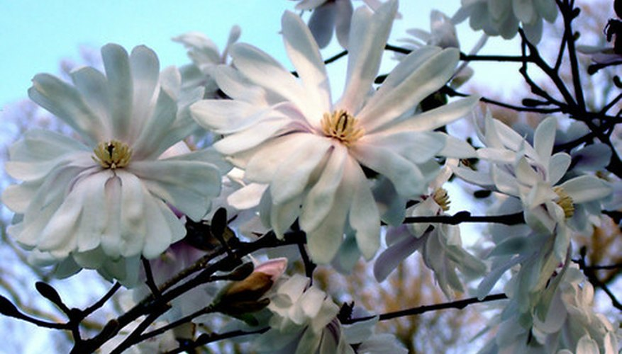 The magnolia tree is a southern landscape staple.